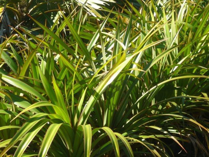 Pandanus Outdoor Plants